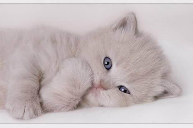 Можно ли измерить коту температуру под мышкой. как померить температуру кошке в домашних условиях. действия при пониженной температуре