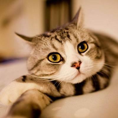 Правда, что шотландские коты очень болезненные?