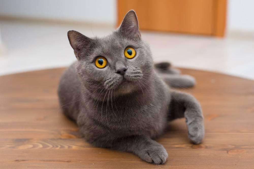 Почему кот британец сильно линяет?