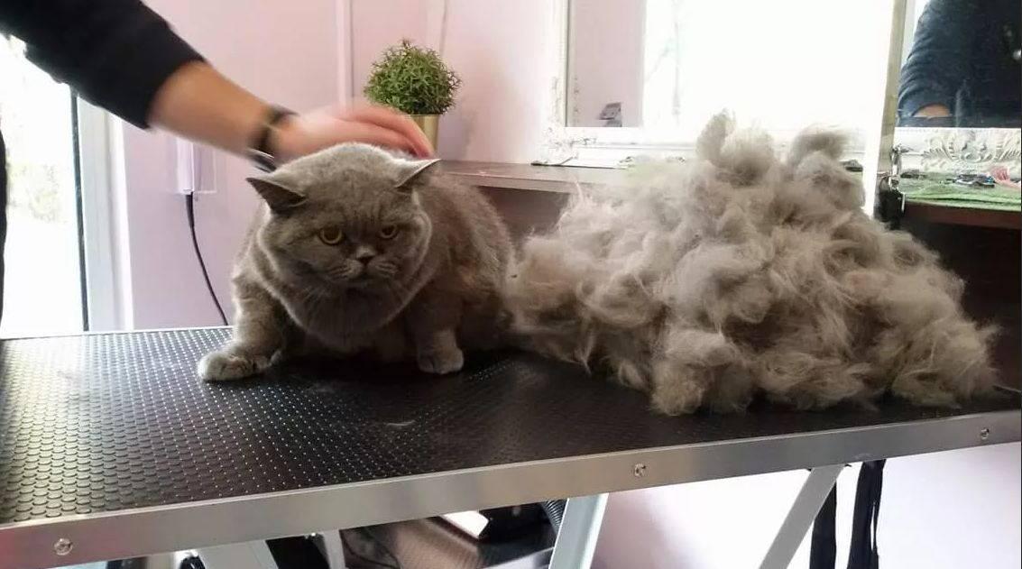 Когда линяют британские кошки?