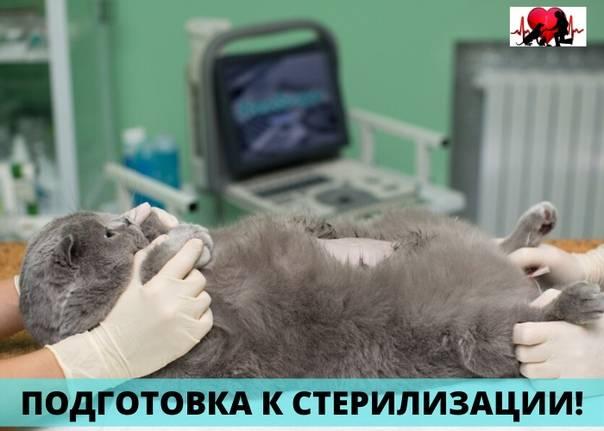 Подготовка кошки к стерилизации и послеоперационный уход