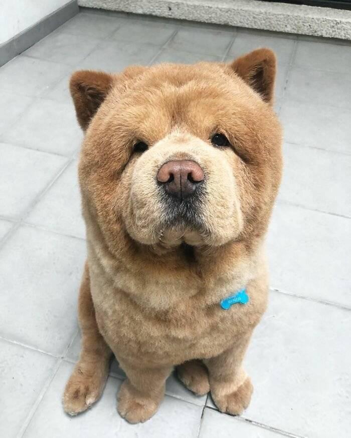 Маленькая собачка похожая на медвежонка. как называется порода собак, которые похожи на мишек? плюсы маленьких собачек