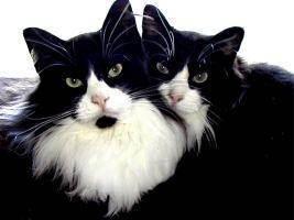 Инбридинг у кошек и его цели