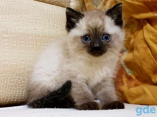Сколько стоит сибирский котенок?