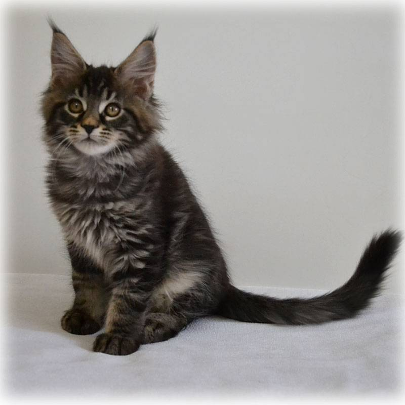 Окрасы котов породы мейн кун с таблицей, кодами и картинками