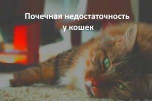 Почечная недостаточность кошек и котов