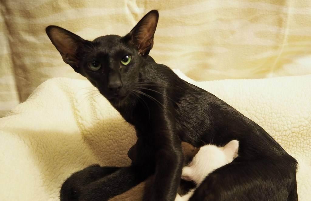 Ориентальная кошка: описание породы, характер, отзывы, фото