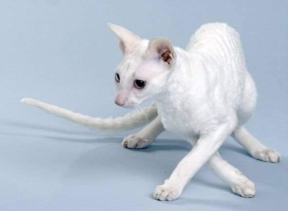 Самая маленькая порода кошек в мире: карликовые мини кошки, которые не растут и всегда как котята