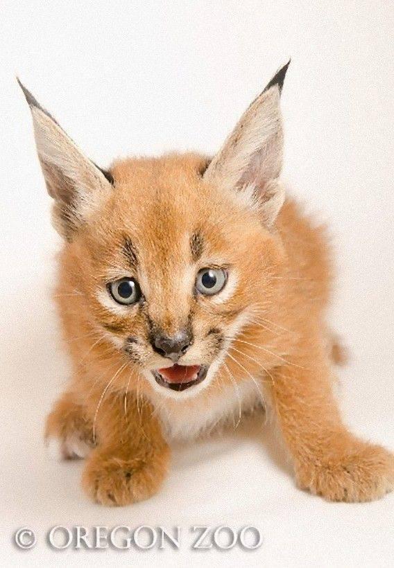 Фото и названия диких кошек и представителей домашних кошачьих пород с кисточками на ушах