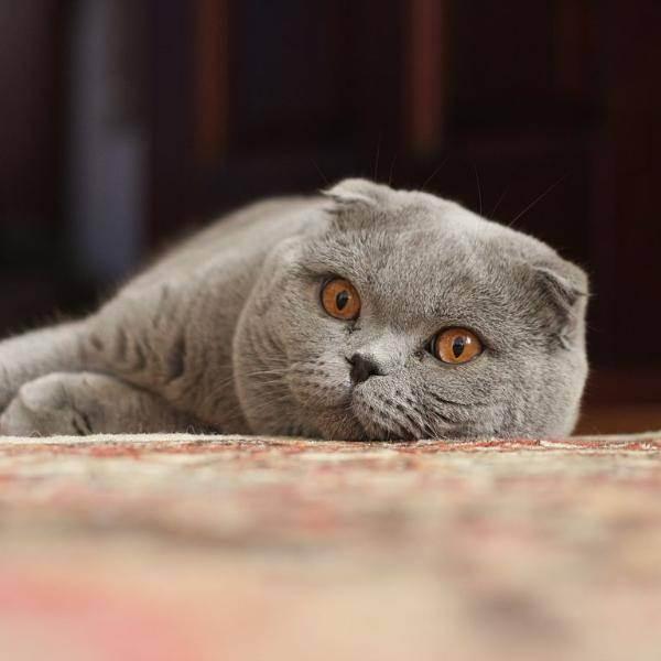 У вислоухой кошки болит ухо