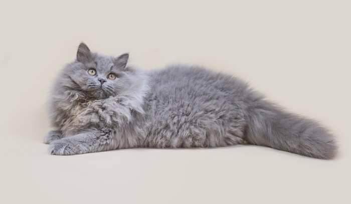 Коты британцы характер