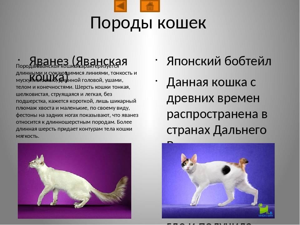 Яванская кошка: фото, описание породы, уход, сколько стоит яванез
