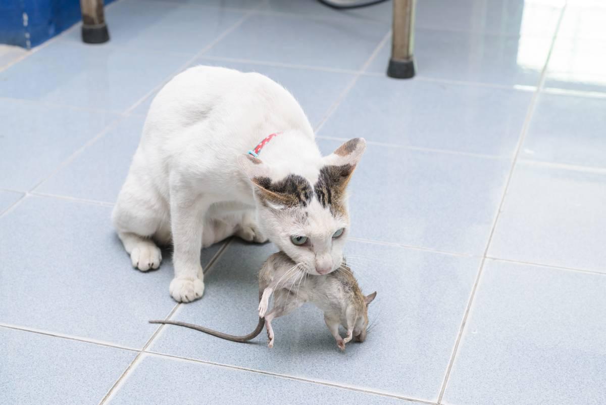 Если кошку стерилизовать будет ли она ловить мышей?