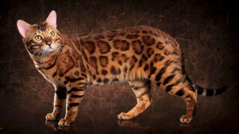 Бенгальская кошка — 130 фото, все про характер, стандарты породы и нюансы ухода за ней