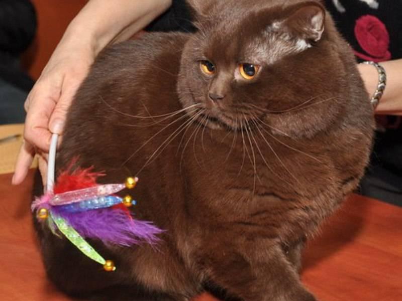 Описание породы йоркская шоколадная кошка