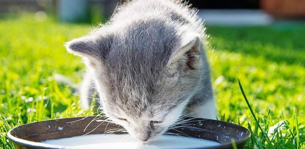 Британские котята: чем лучше кормить с детства — lapy-i-hvost