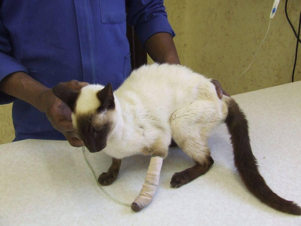 Лечение ушиба почек у кошек