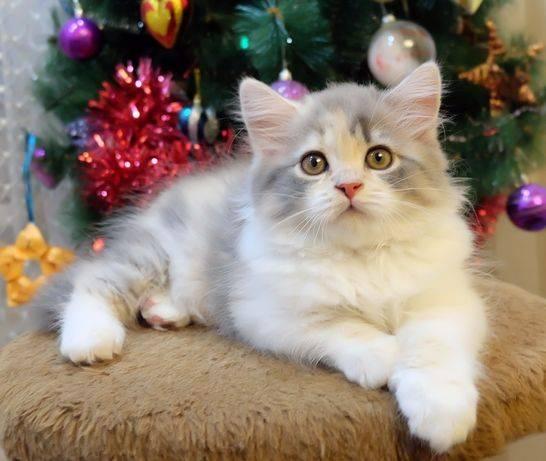Как обманывают при продаже котят?