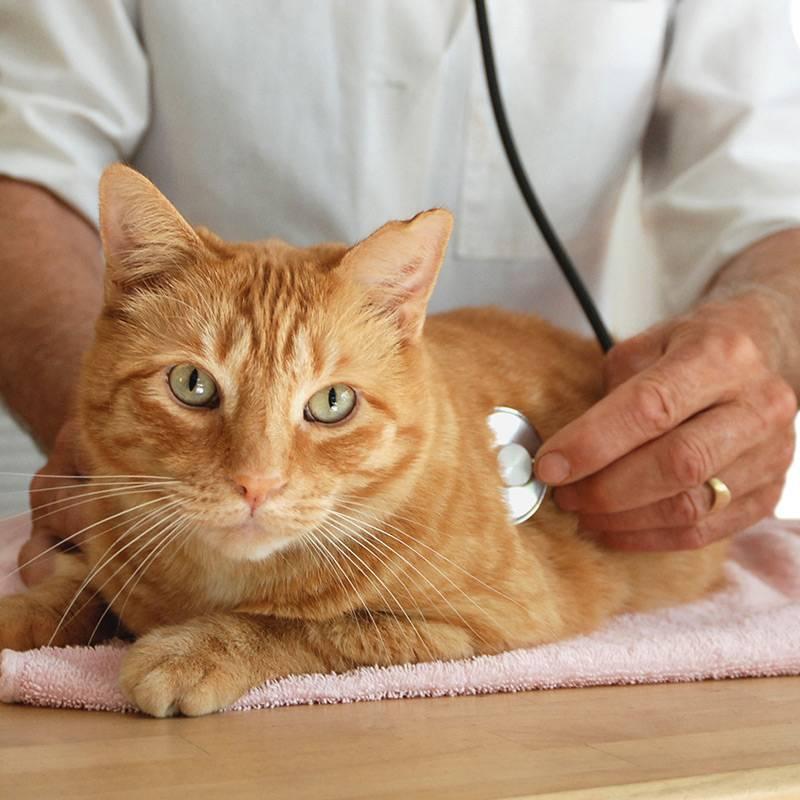 Цирроз печени у кошек и котов: симптомы и лечение