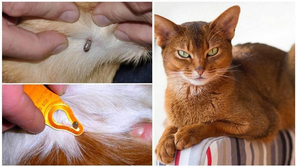 Как вытащить клеща у кота – удаление клеща в домашних условиях