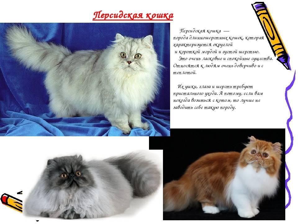 Персидские кошки и коты: описание породы, характер, отзывы (фото и видео)