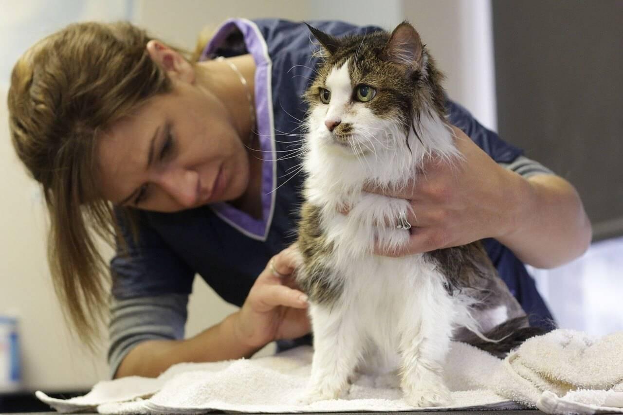 Перхоть у кошек: причины и лечение, профилактика