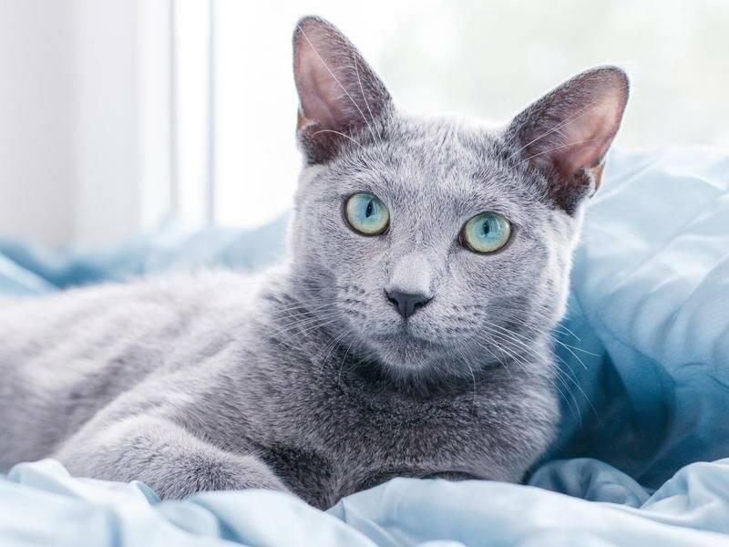 8 самых добрых пород кошек :: инфониак
