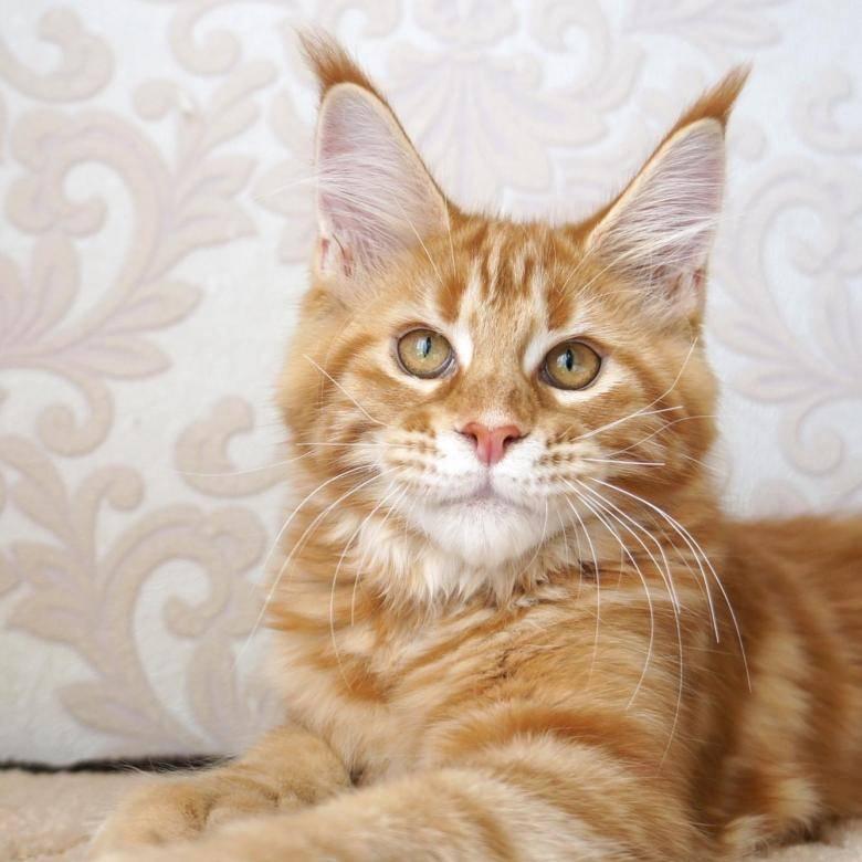 Порода мейкун кошка: фото, цена, характеристика, где купить
