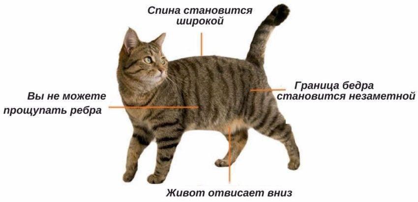 Сколько должен весить кот (кошка): таблица по возрастам, вес (средний, нормальный) сколько должен весить кот (кошка): таблица по возрастам, вес (средний, нормальный)