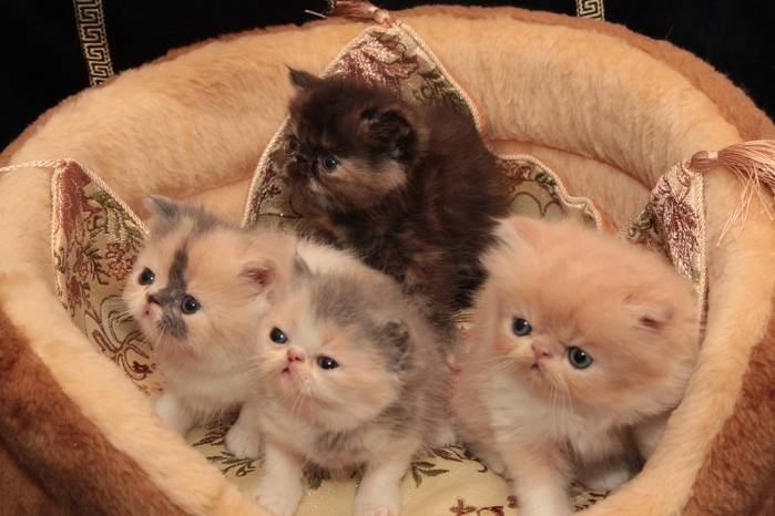Какую кошку лучше завести в квартире?