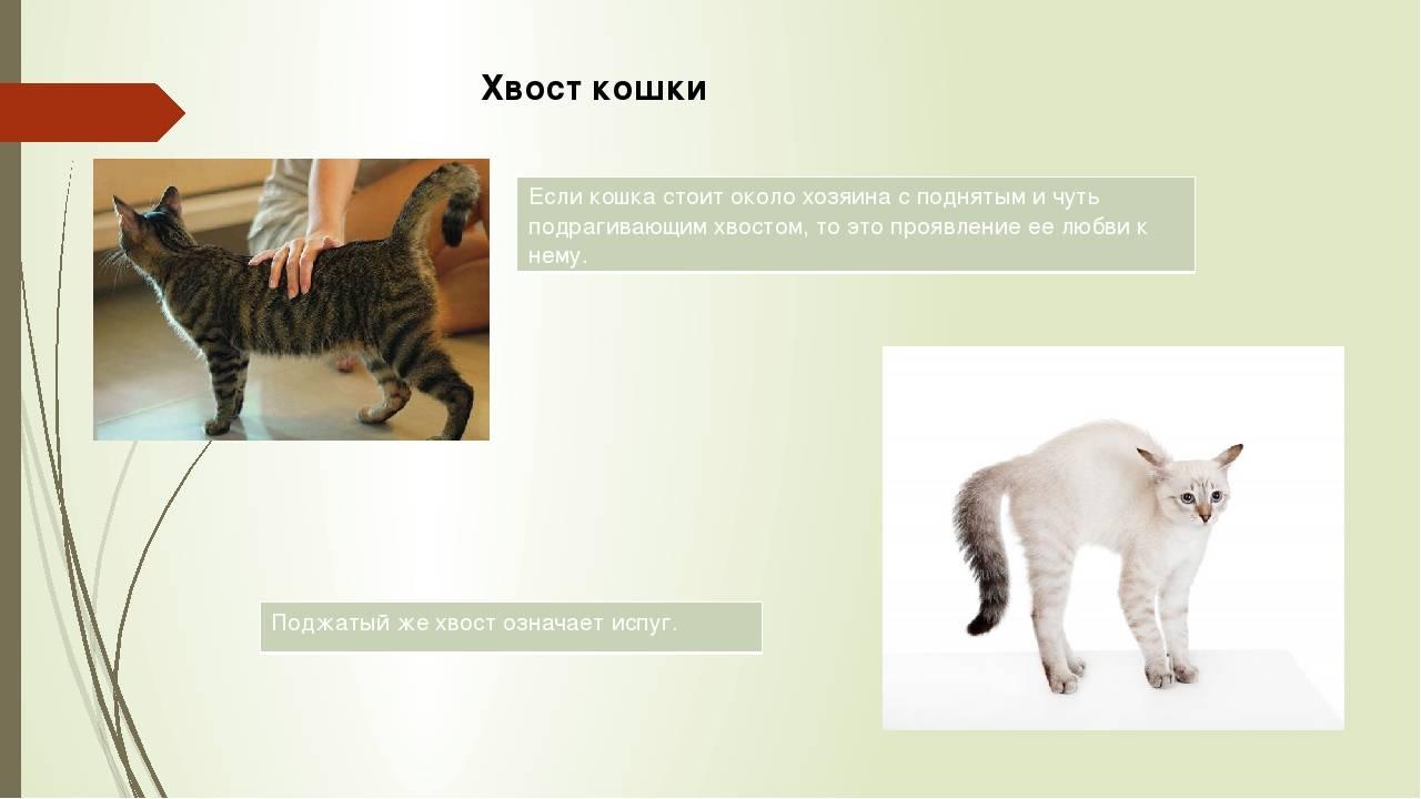 Зачем кошке хвост - троение хвоста кошки, генетические аномалии. | caticat.ru