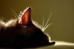 Как чистить уши кошке: полезные рекомендации
