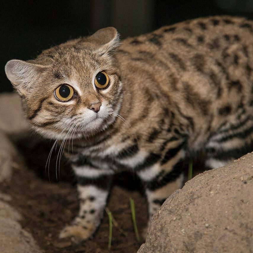 Сервал — кошка с африканского континента