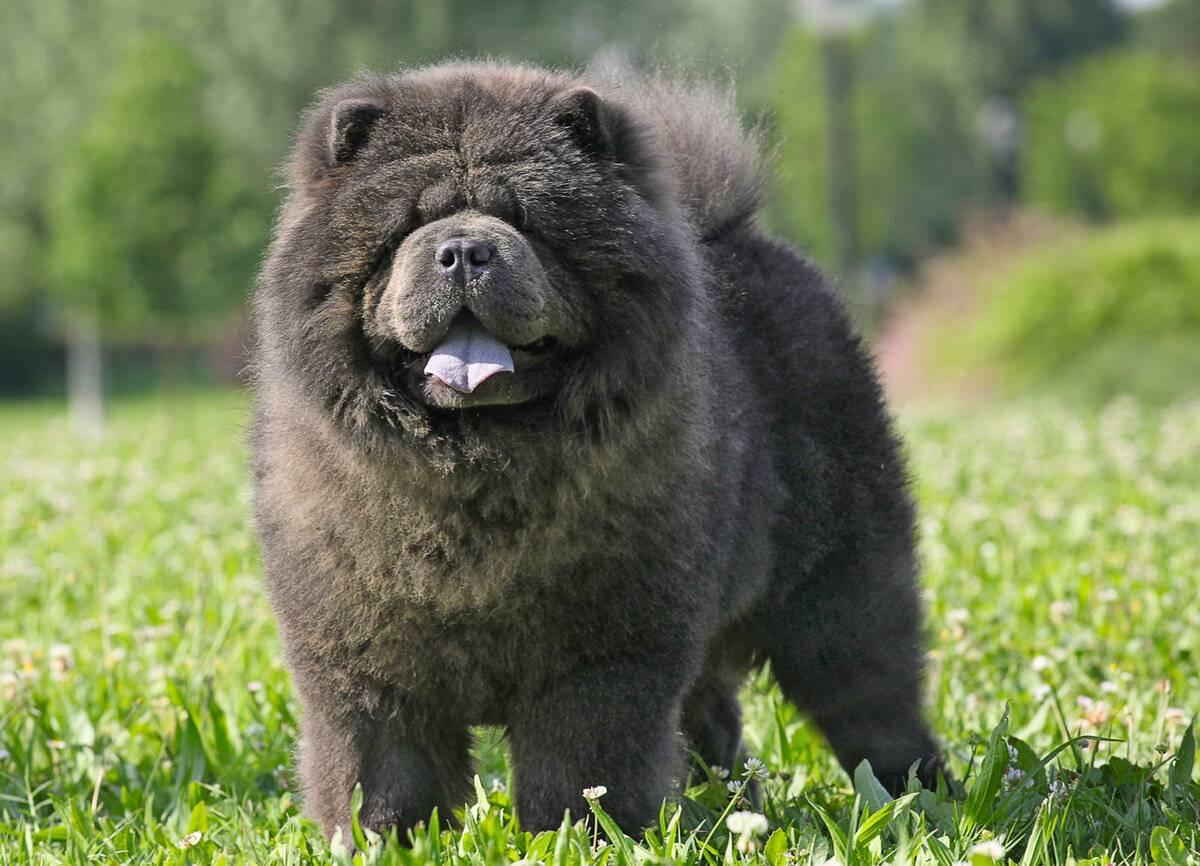 Что делать, если у собаки посинел язык?