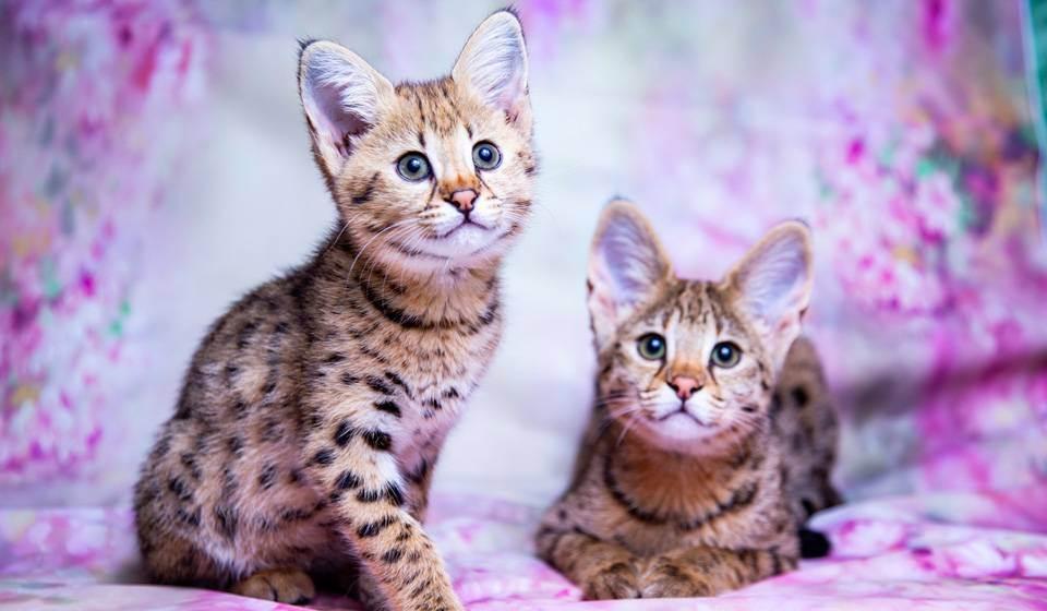 Саванна порода кошек   описание характера, фото и отзывы, питомники и цены