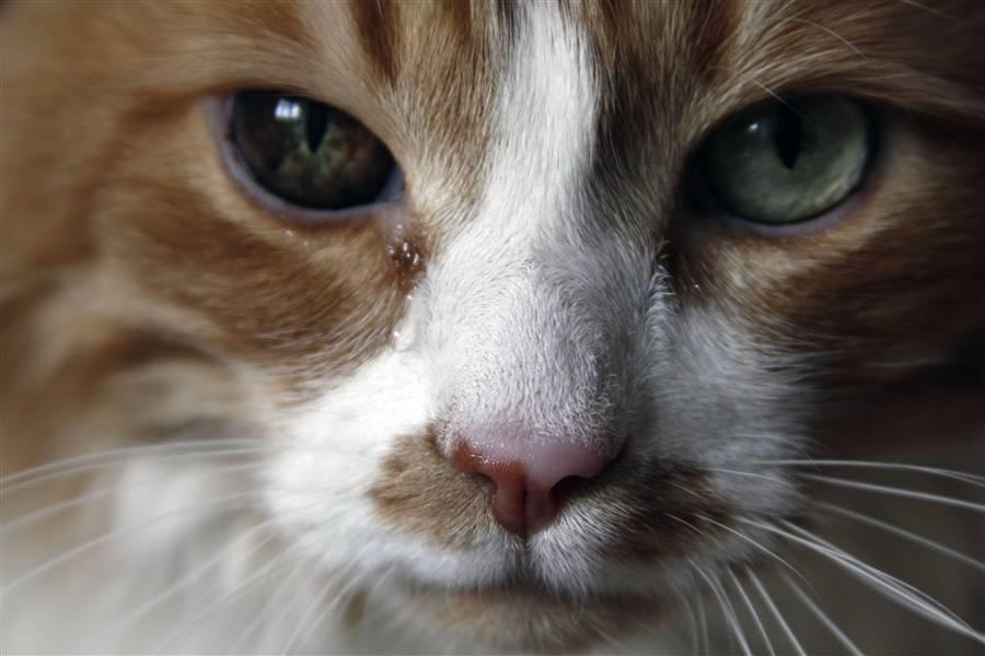 Плачут ли кошки: умеют ли и почему? - oozoo.ru