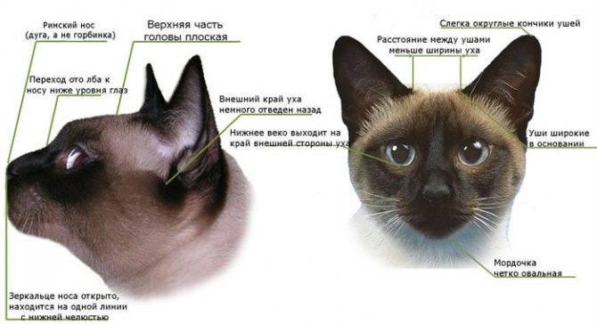 11 пород кошек похожих на сиамских