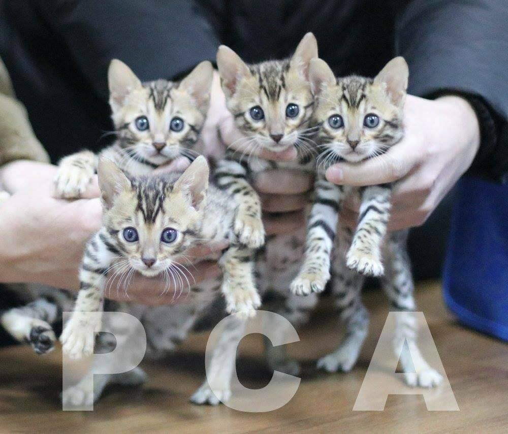 Разведение кошек как бизнес - с чего начать, бизнес-план