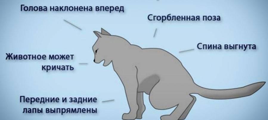 Запор у кошки: лечение, симптомы, причины