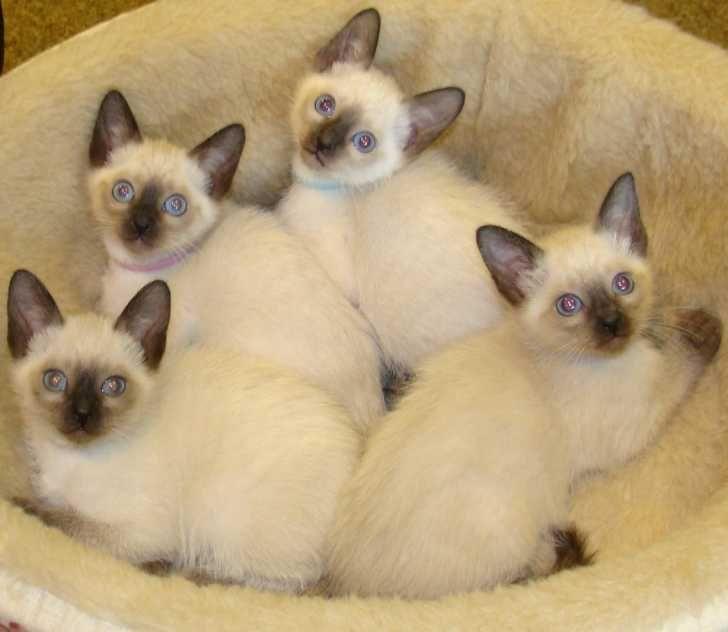 Сколько живут сиамские кошки в домашних условиях - кошки и собаки