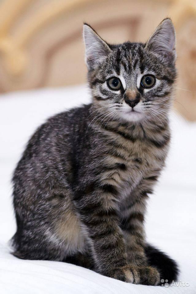 Особенности белых кошек с голубыми глазами