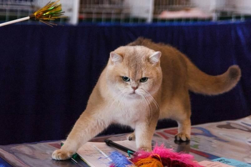 Кто заполняет ветеринарный паспорт на котенка. паспорт шотландской и британской кошки — что это и где его взять? где получить паспорт