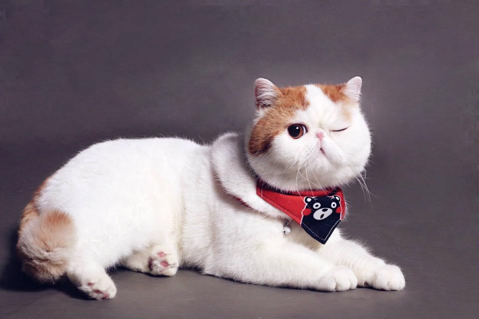 Японский кот снупи: описание породы, фото, цена
