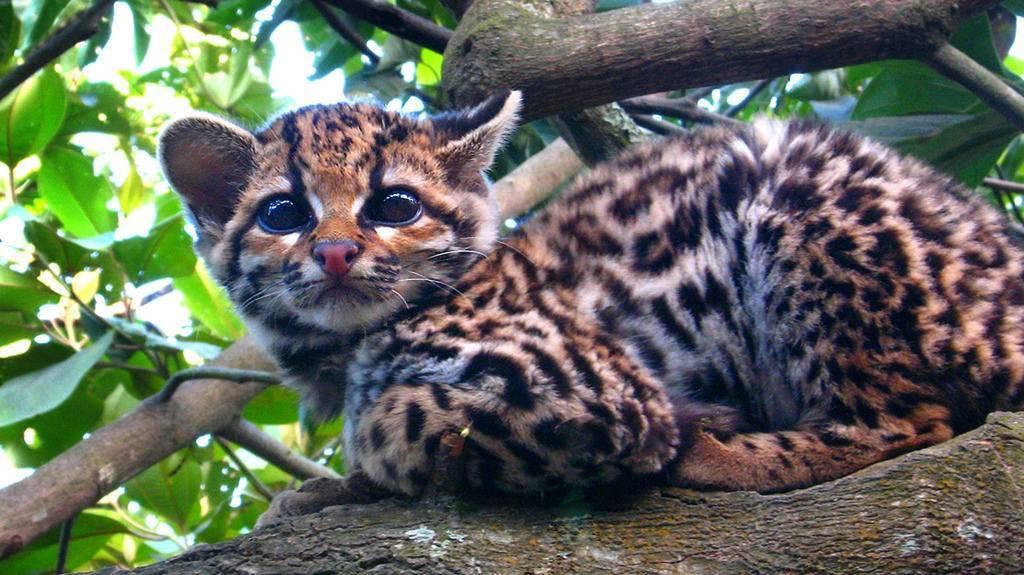 Тигровая кошка: обзор самых популярных пород с диким полосатым окрасом