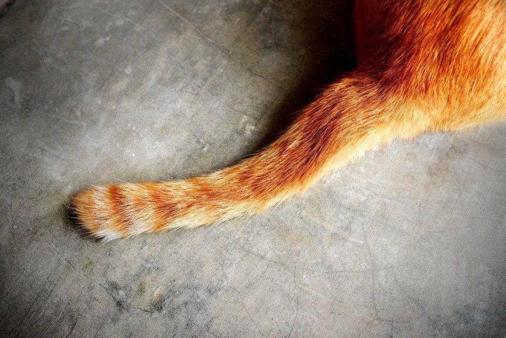 У кошки болит основание хвоста - что за этим стоит?