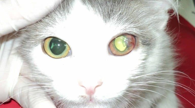Что такое третье веко у кошки и как оно лечится