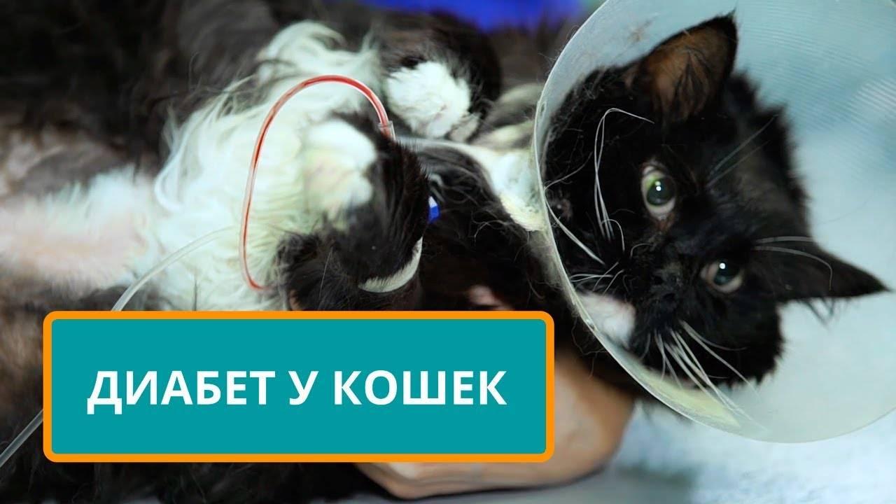 Сахарный диабет у кошек: причины, симптомы, лечение, диета и профилактика