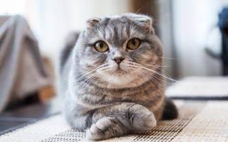 У шотландского котенка слезятся глаза и чихает