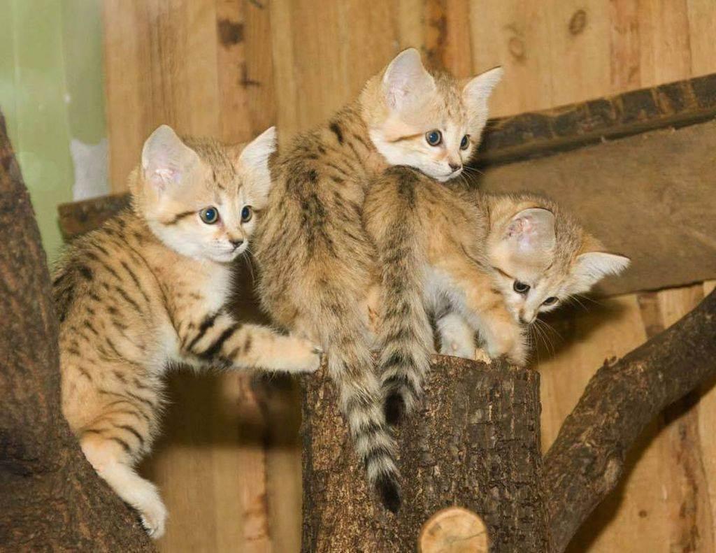 ᐉ барханный кот (песчаный): ареал обитания и образ жизни дикой кошки, характер и повадки, содержание в неволе - kcc-zoo.ru