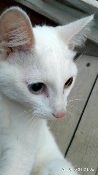 Белые коты: описание и популярные породы